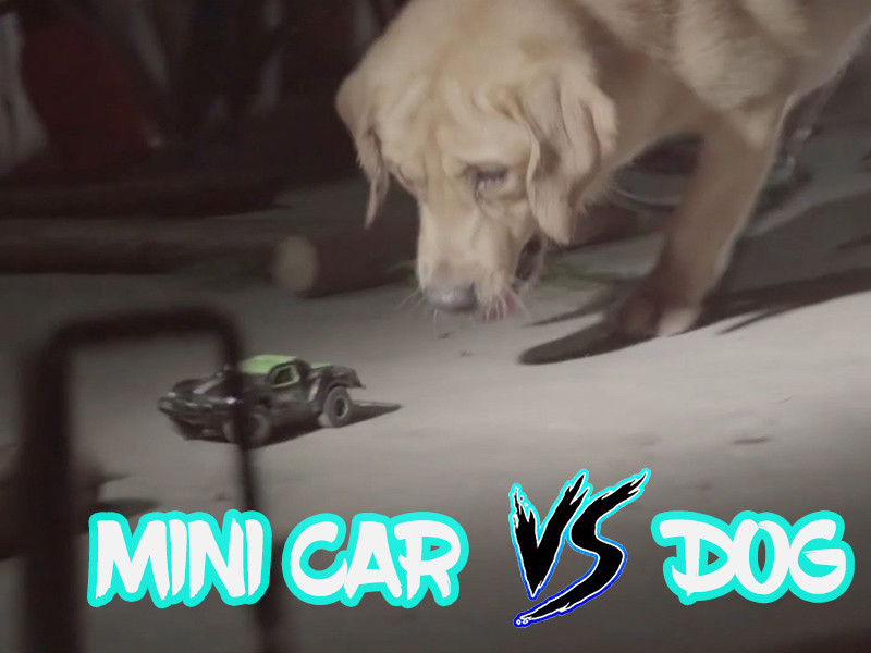 Who will win the fight between the dog and the mini RC car?